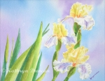 Springtime Yellow Blooms - Irises