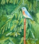"""Stopping For A Rest - Bluebird watercolor on paper 12"""" x 9"""" matted to 11"""" x 14"""""""