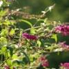 Butterfly-bush-W – Copy