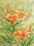 """Orange Sorbet"" - Lilies"